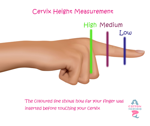 cervix-height.jpg